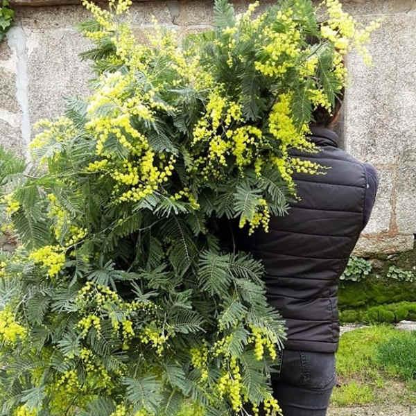 ramo-de-mimosas