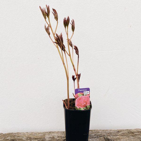 Planta+peonia+Sarah+Bernhardt