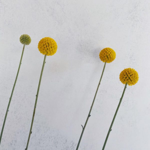 Craspedia planta