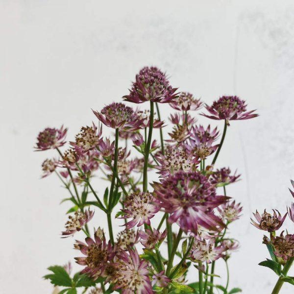 Planta de Astrantia